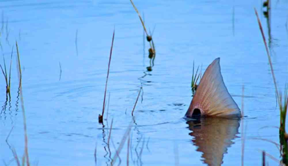 Tailing Redfish by Jason Stemple