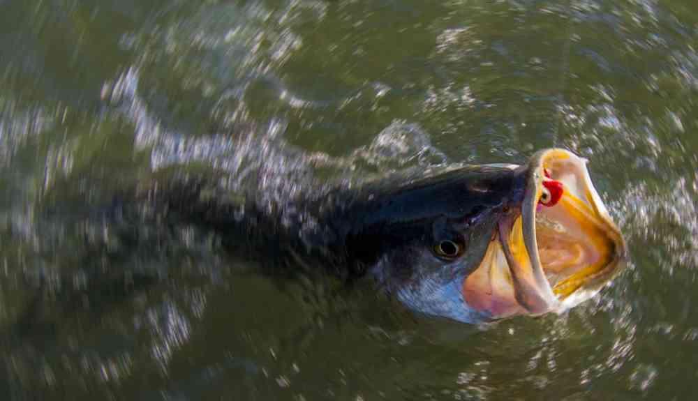 trout-close-blr2