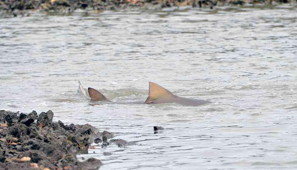 Bull-Shark-Myrtle-Beach