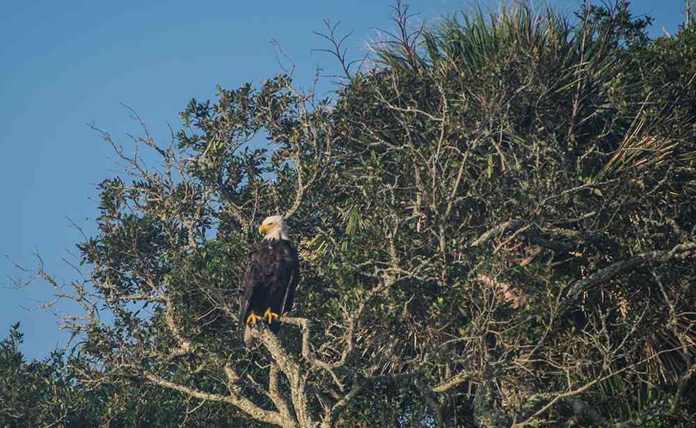 bald-eagle-georgetown-sc