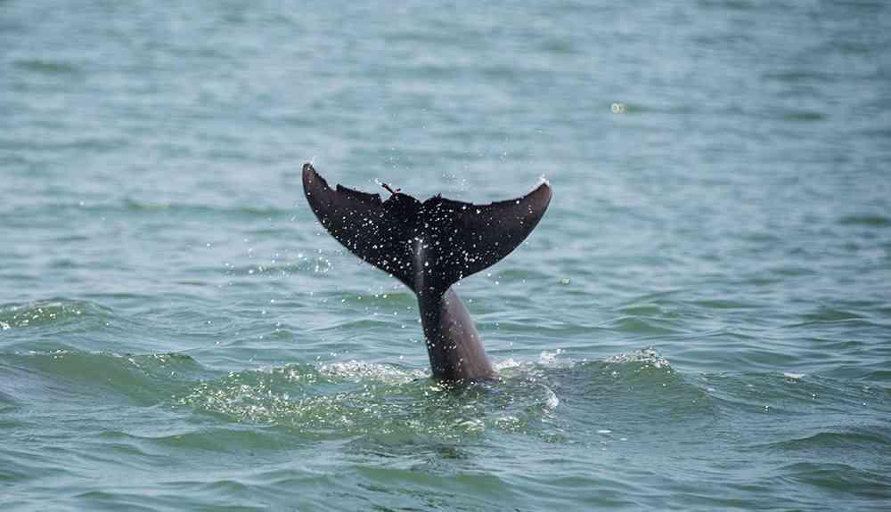 dolphin-myrtle-beach-2