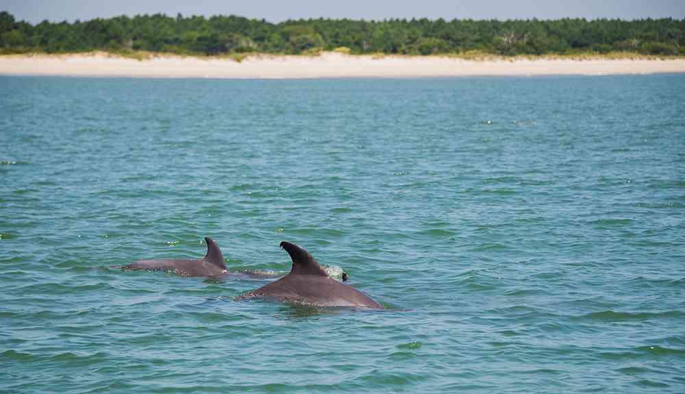 dolphin-myrtle-beach