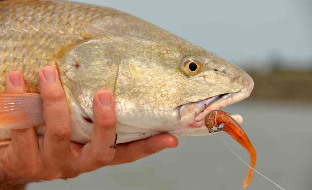 hallowed-redfish-georgetown-2