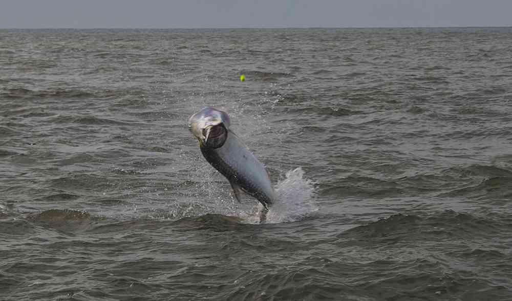 georgetown-tarpon-fishing-charters-pate-02