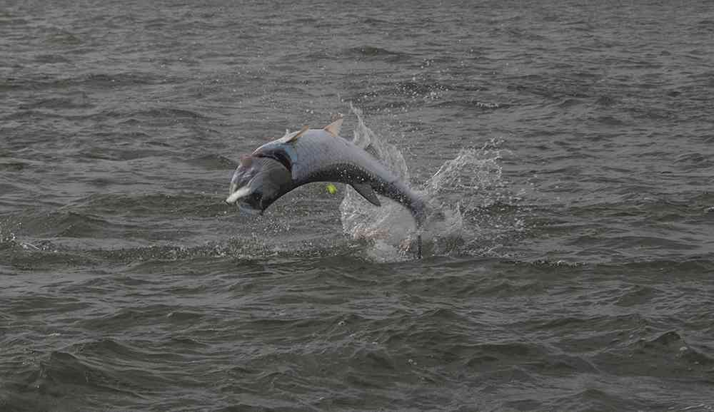 georgetown-tarpon-fishing-charters-pate-03