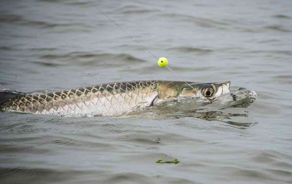 Tarpon fishing in full swing carolina guide service for Tarpon fishing charters