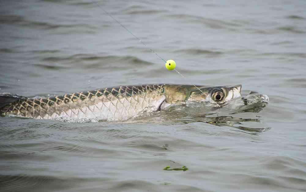 georgetown-tarpon-fishing-charters-pate-04