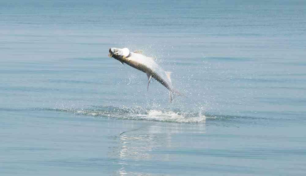 tarpon-fishing-charters-georgetown-sc
