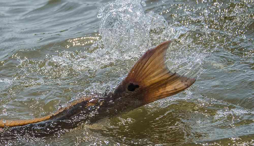 redfish-tailing-georgetown