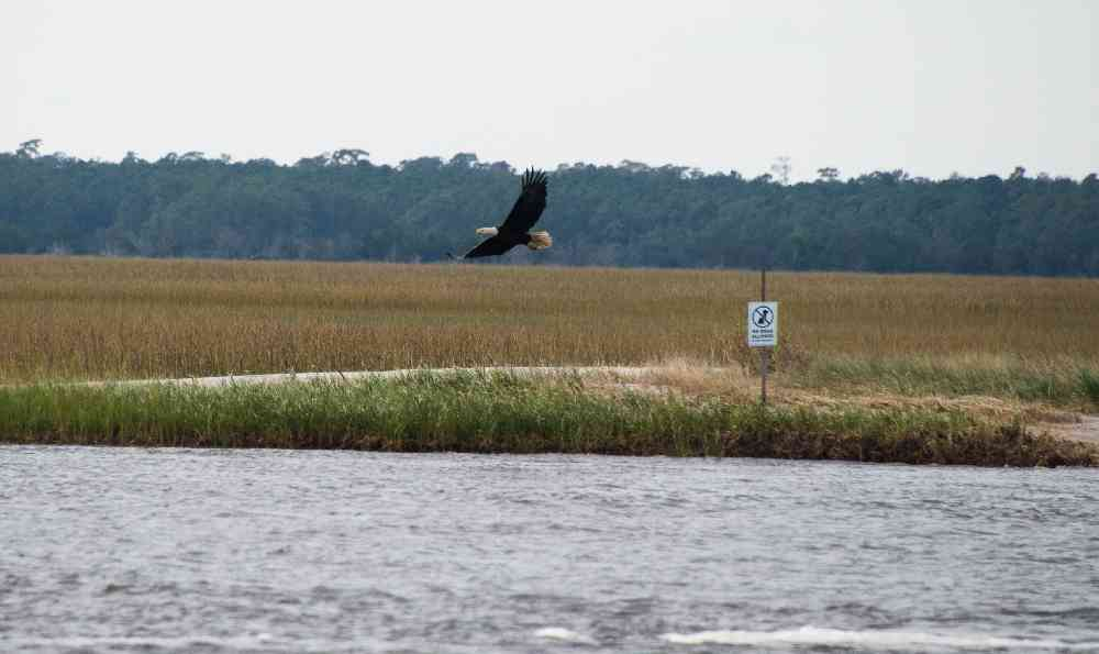 North-Inlet-Bald-Eagle-01