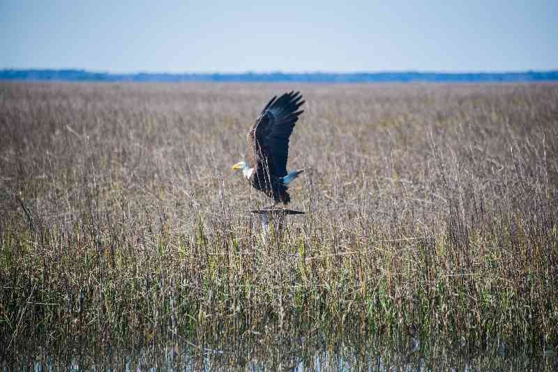 Bald-Eagle-North-Inlet-098