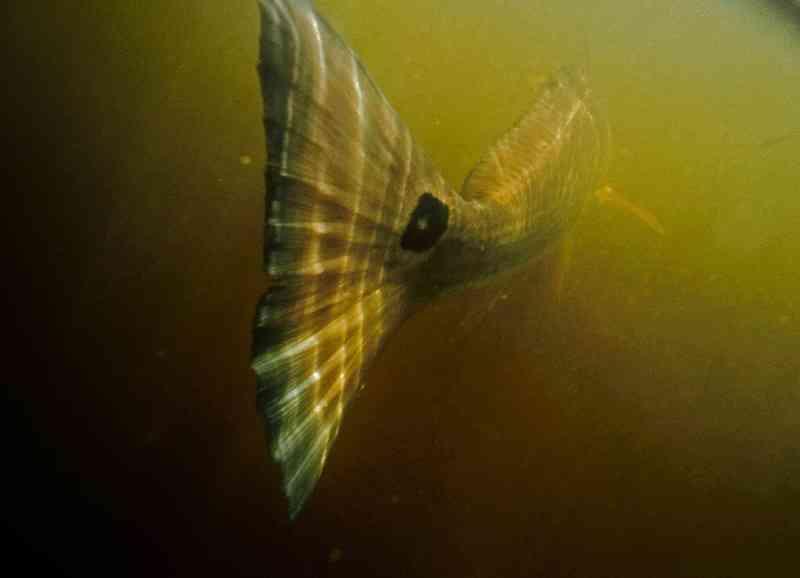 redfish pawleys island